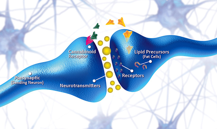 Cannabidiol could have rapid-acting antidepressant-like effects
