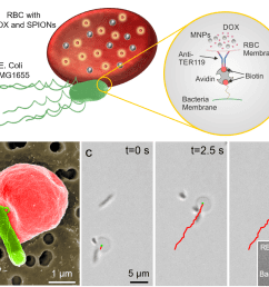 a rbc microswimmers are composed of an rbc loaded with drug molecules and superparamagnetic iron oxide nanoparticles bounds to a motile bacterium via  [ 1044 x 883 Pixel ]