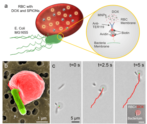 small resolution of a rbc microswimmers are composed of an rbc loaded with drug molecules and superparamagnetic iron oxide nanoparticles bounds to a motile bacterium via