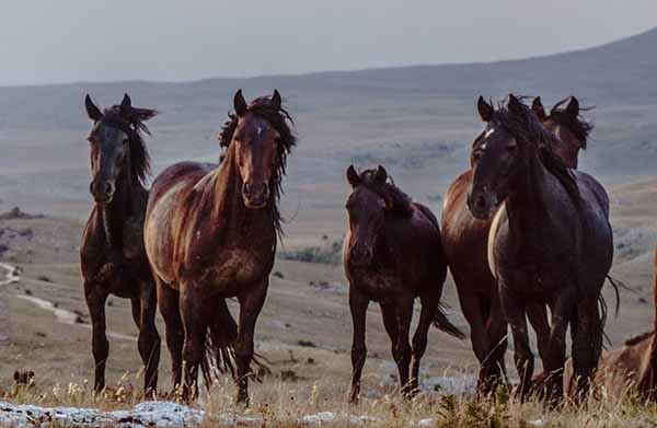 Wild horses in the open country