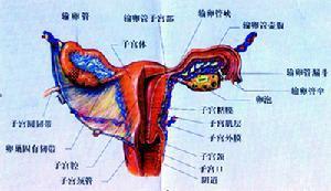 卵巢黃體囊腫破裂 - 搜狗百科