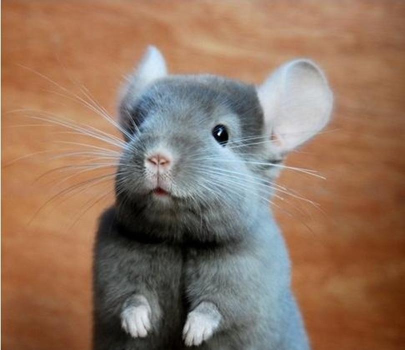 寵物鼠價錢| - 綠蟲網 - BidWiperShare.com