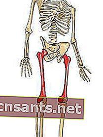 Fungsi Tulang Tempurung Lutut : fungsi, tulang, tempurung, lutut, Tulang, Paha:, Anatomi,, Fungsi, Mereka
