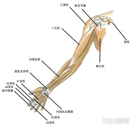手臂肌肉圖解展示 11種方法助你快速練出肌肉 - 色彩地帶