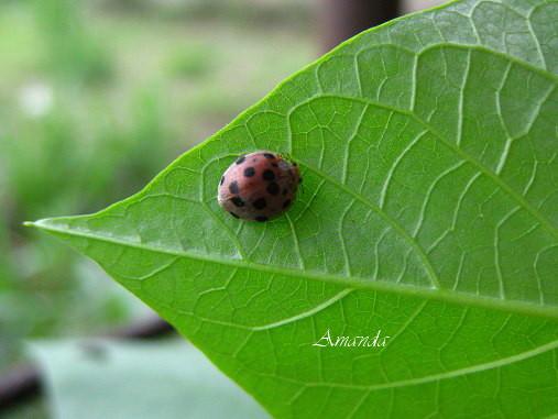 地瓜葉上的小瓢蟲.jpg