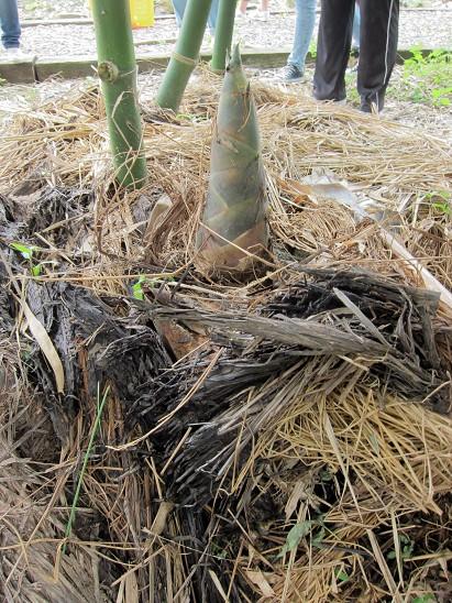 大進有機農場-採竹筍