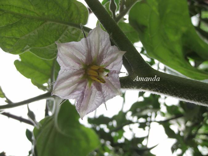 小圓茄花朵.JPG