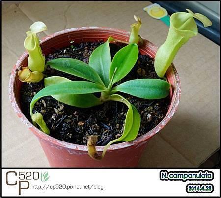 小巧可愛的 Nepenthes campanulata 風鈴豬籠草 @ 食蟲之森 :: 痞客邦