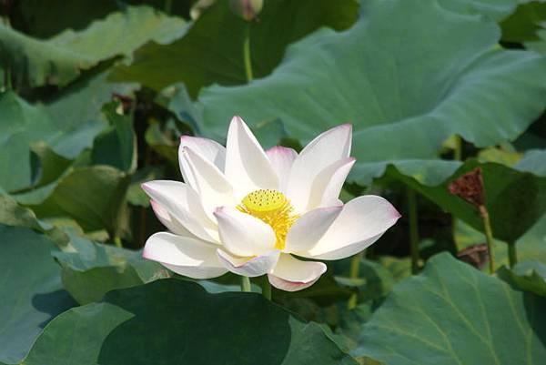 各種「蓮花」品種的花語 @ 先見之明的預兆 :: 痞客邦