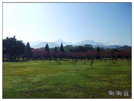 很多櫻花樹