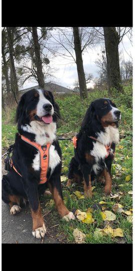 346 malvorlage berner sennenhund Coloring and Malvorlagan