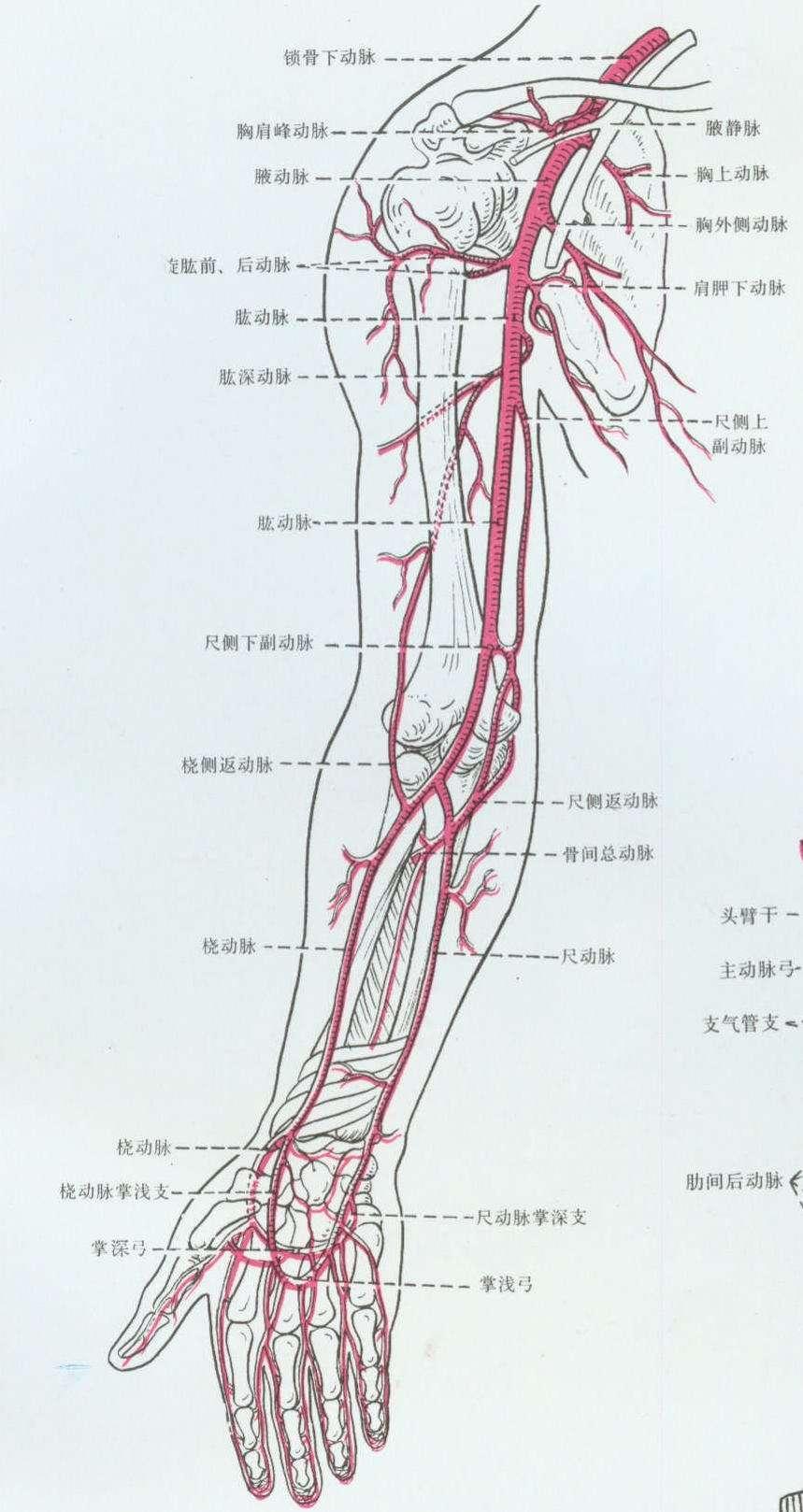 上肢內瘺術前動脈超聲評估(一) - 知乎