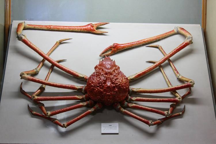 不要再說世界上最大的螃蟹是帝王蟹了 - 知乎