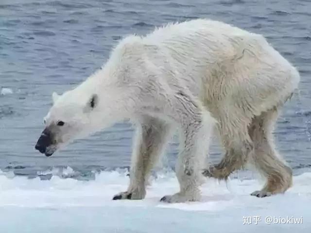 大家都在心疼的北極熊,真的要滅絕了嗎? - 知乎