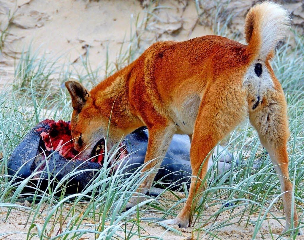 澳大利亞為什么會野兔成災? - 知乎