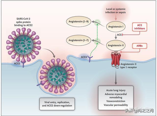 ACE2是SARS-CoV-2受體,3篇國際論文爭論ACEI對Covid-19的治療 - 知乎
