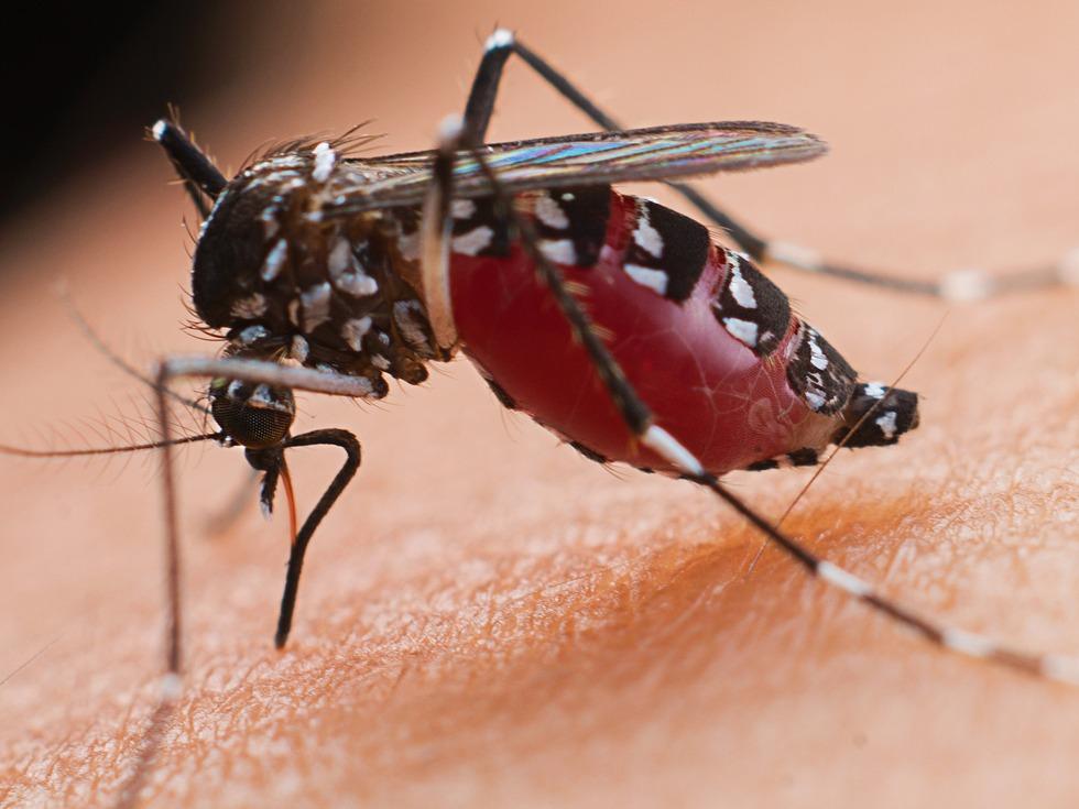 攝影師微距拍攝蚊子吸血全過程[圖集]_人文-多維新聞網
