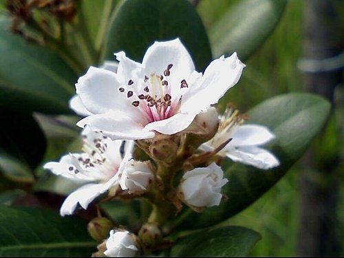 又見厚葉石斑木 @水晶蘭的種子花草格 - nidBox親子盒子