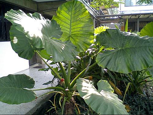 天南星科-2010姑婆芋種子盆栽 @水晶蘭的種子花草格 - nidBox親子盒子
