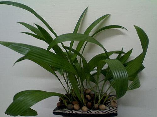 棕櫚科-聖誕椰子+蒲葵種子盆栽 @水晶蘭的種子花草格 - nidBox親子盒子