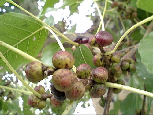 桑科-菩提樹種子盆栽100/3/24更新 @水晶蘭的種子花草格 - nidBox親子盒子