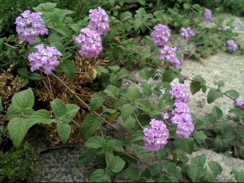 馬鞭草科-(紫花)蔓性馬纓丹 /小葉馬纓丹 @水晶蘭的種子花草格 - nidBox親子盒子