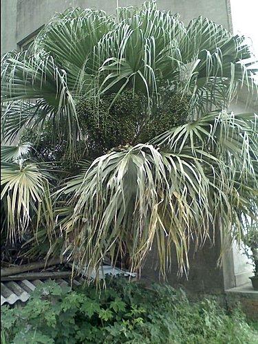 棕櫚科-蒲葵 @水晶蘭的種子花草格 - nidBox親子盒子