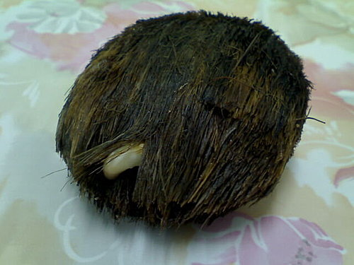 棕櫚科種子圖 @水晶蘭的種子花草格 - nidBox親子盒子