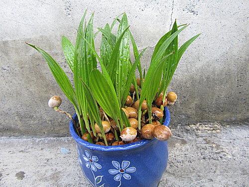 種子盆栽 - 蒲葵 @種種子迷種子 - nidBox親子盒子