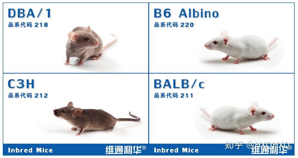 """實驗小鼠的""""前世今生"""" - 知乎"""