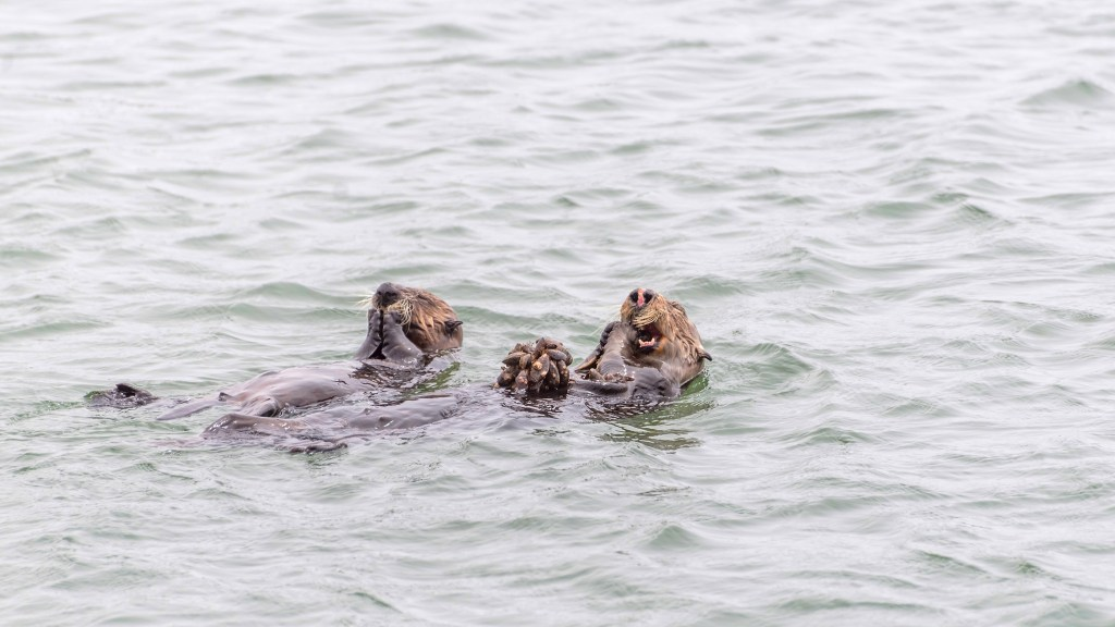 Sea Otters Moss Landing