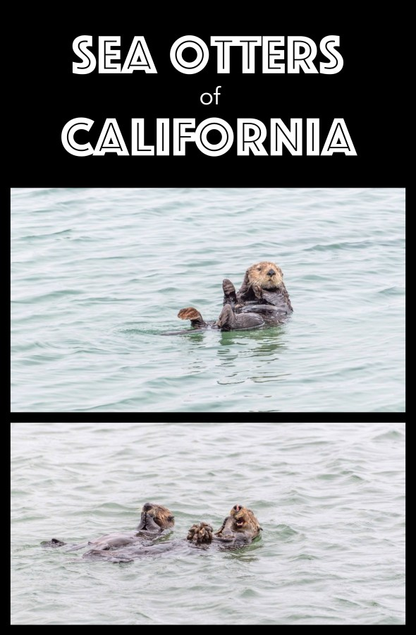 Sea Otters of California