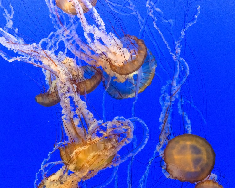Monterey Bay Aquarium Jellyfish