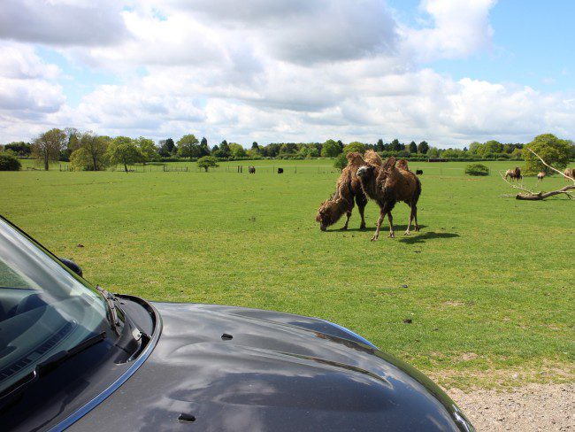 Bactrian camels at Whipsnade Zoo