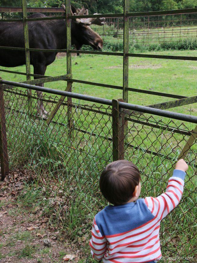 Moose at Whipsnade Zoo