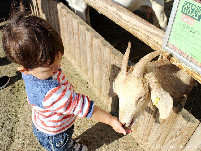 Feeding the goats at Bockett Farm Park Surrey