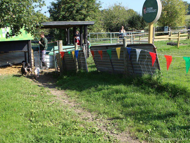 Pig race at Bocketts Farm Park Surrey