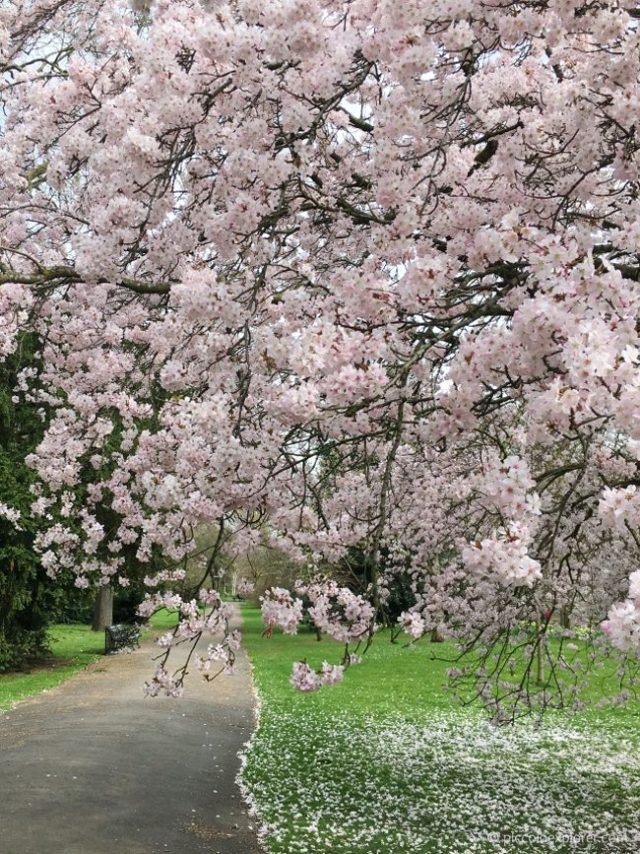 Blossom Tree in Kensington Gardens, London