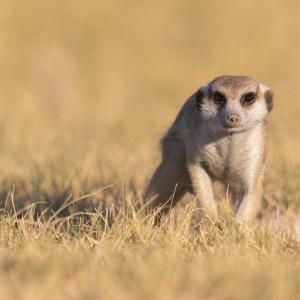 Meerkat in the Nxaipan