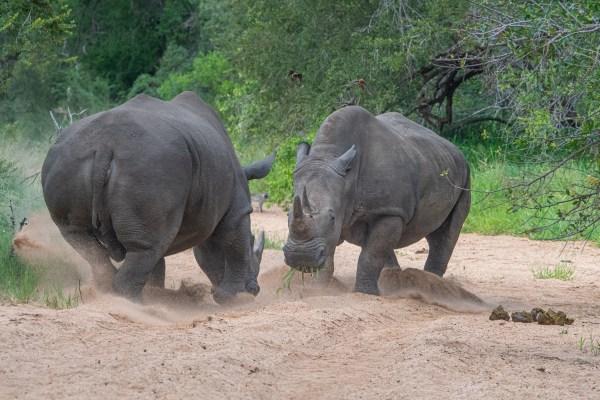 White Rhino Crash