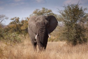 Africas living giants