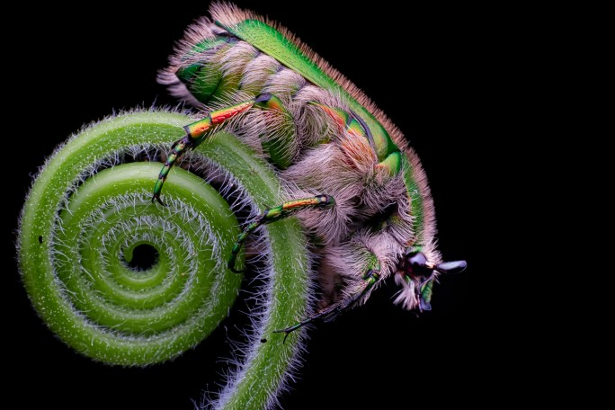 The Flower Chafer Beetle