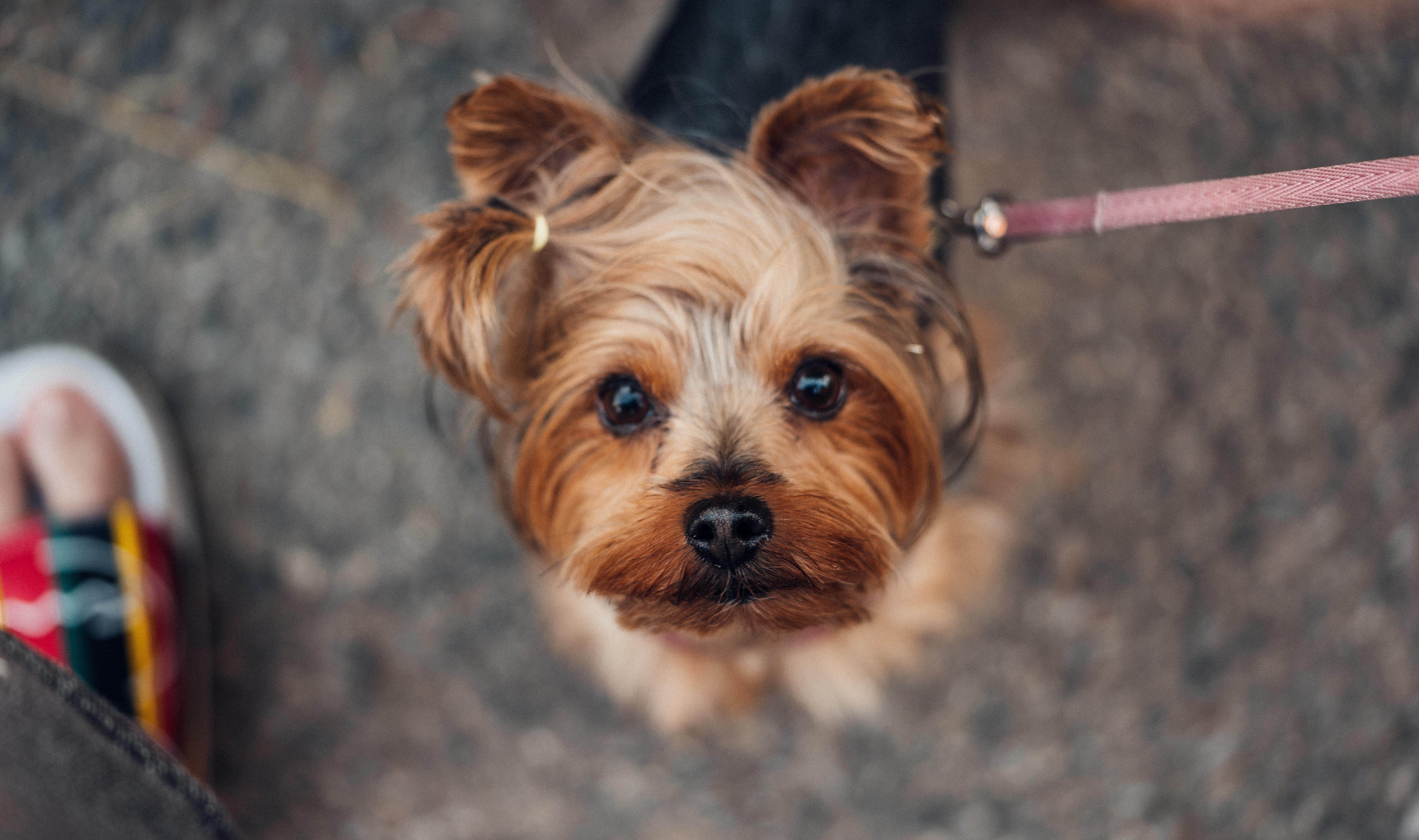 Download Walking Cute Yorkshire Terrier FREE Stock Photo