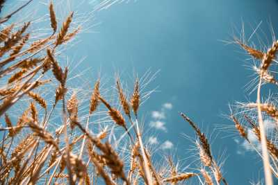 Download Wheat Field Free Stock Photo