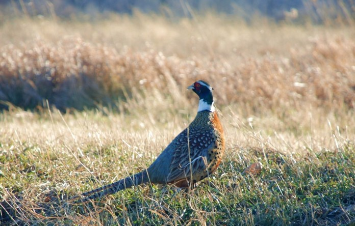 7 Useful Pheasant Hunting Tips for Beginners