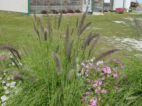 grow pennisetum mountain