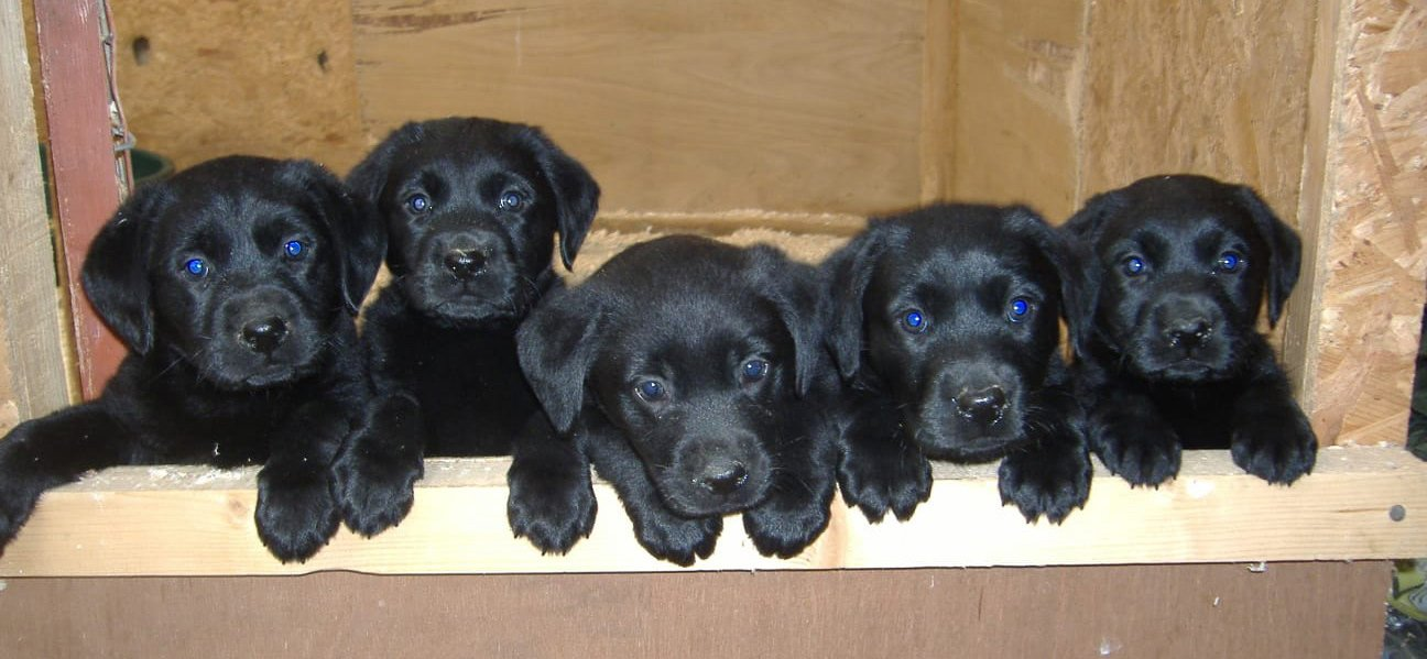 Pickforal Puppies