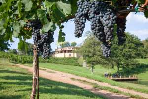 Looking through the grape trees at Montaluce Vineyard, located in Dahlonega.
