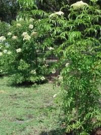 picture of elderberry bush with flowers | Pick Me Yard