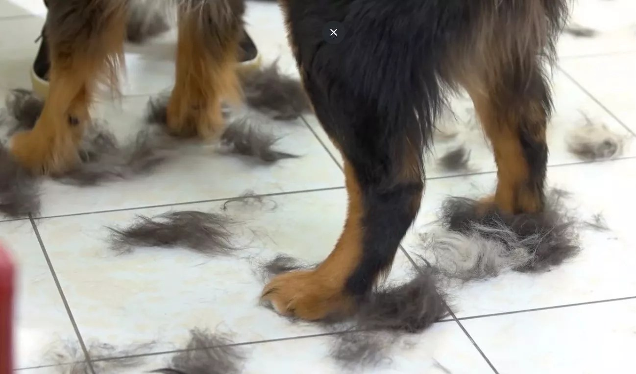 What To Do If The Dog Is Shedding Excessively